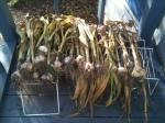 Garden garlic 2014