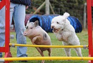 pig jumping hurdles