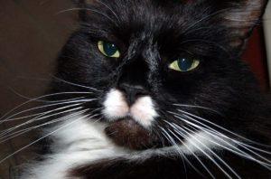 Cat glaring