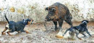 Hog-Hunting-With-Dogs-featured