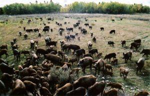 wild pig herd