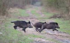 pigs running
