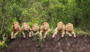 Groupo of lions