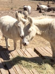 Donkey twins