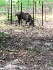 Pig in pen 091319