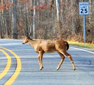 Buck on the road